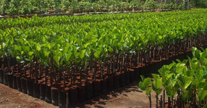 Hạt giống nhập khẩu cho ta cây có chất lượng tốt.