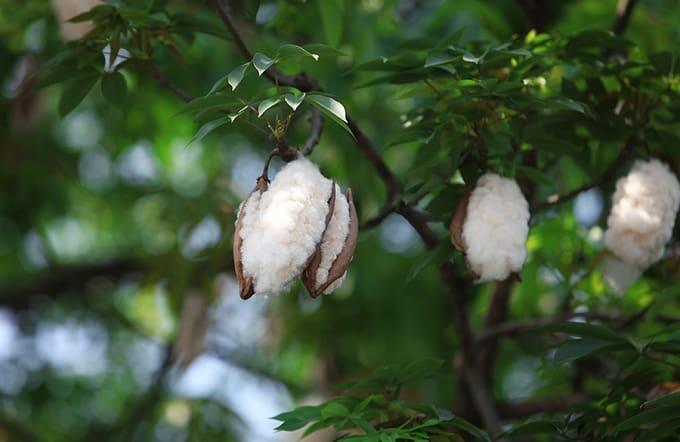 Cây bông xuất khẩu chế biến